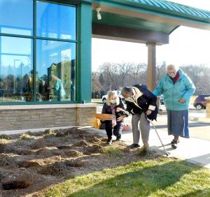 Tulip bulbs being planted